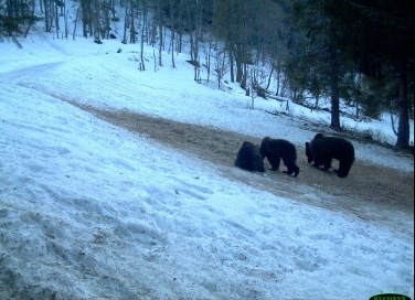 A bear family (female with young) feeding in winter at an ungulate feeding site in Bieszczady Mountains in the northeastern Carpathians (SE Poland) (© IOP PAN)